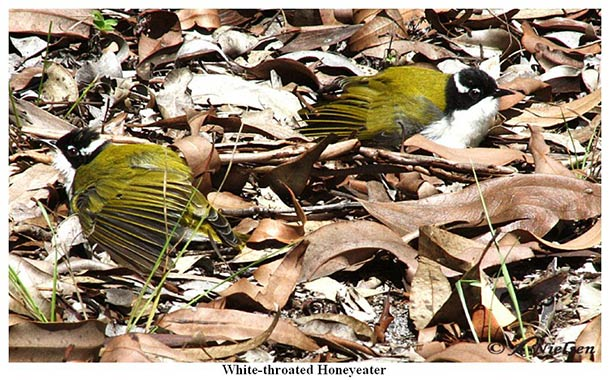 White-throated Honeyeater - Tin Can Bay
